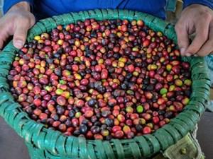 Cà phê xịn nhất thế giới được sản xuất như thế nào?