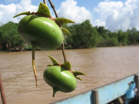 Mangrove apples: good food, good medicine