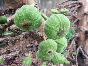 Các món ăn chế biến từ trái vả - đặc sản ẩm thực đất cố đô