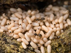Weaver Ants' Eggs – Specialty of Ham Ho