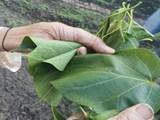 Về Mường So ăn đặc sản…lá ngón