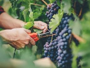 Phát hiện mới về nguồn gốc cổ xưa của rượu vang nho