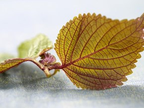Shiso from A to Z: 26 Things to Know