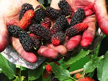 Around The Mulberry Bush: Sample A Juicy April Delicacy in Hanoi