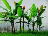 Chuối hột rừng: món ăn - bài thuốc nhiều công dụng