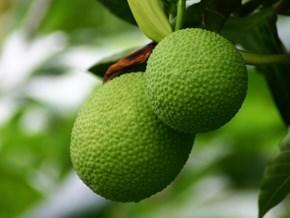 Huyền thoại ít biết về những trái sa-kê