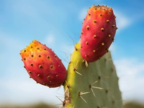 Prickly Pear from A to Z: 26 Things to Know