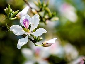 Thơm ngon ẩm thực từ hoa ban Tây Bắc